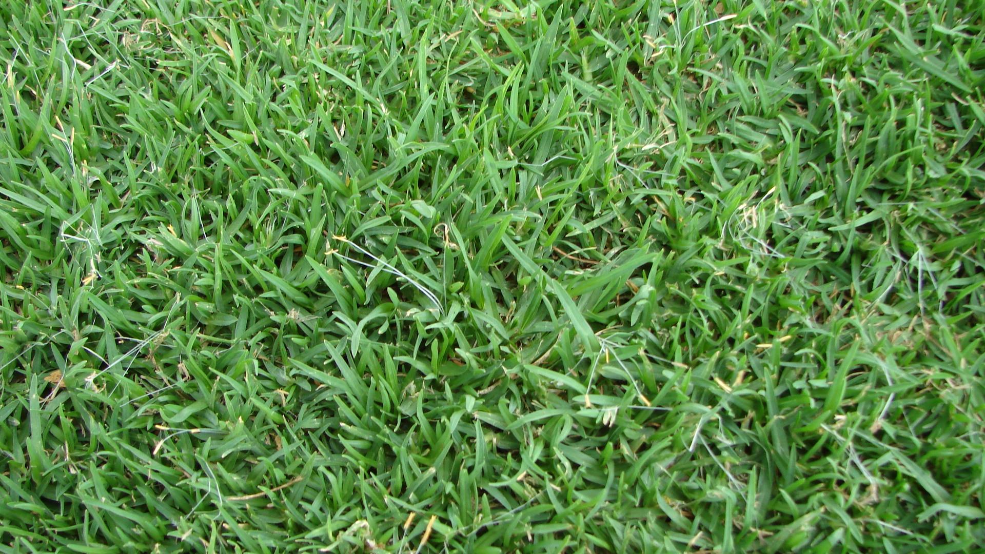 La rural semiller a semillas de c sped kikuyo la rural - Semillas de cesped para jardin ...